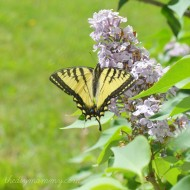 Wordless Wednesday: A Monarch Finds Rest on Our Lilacs