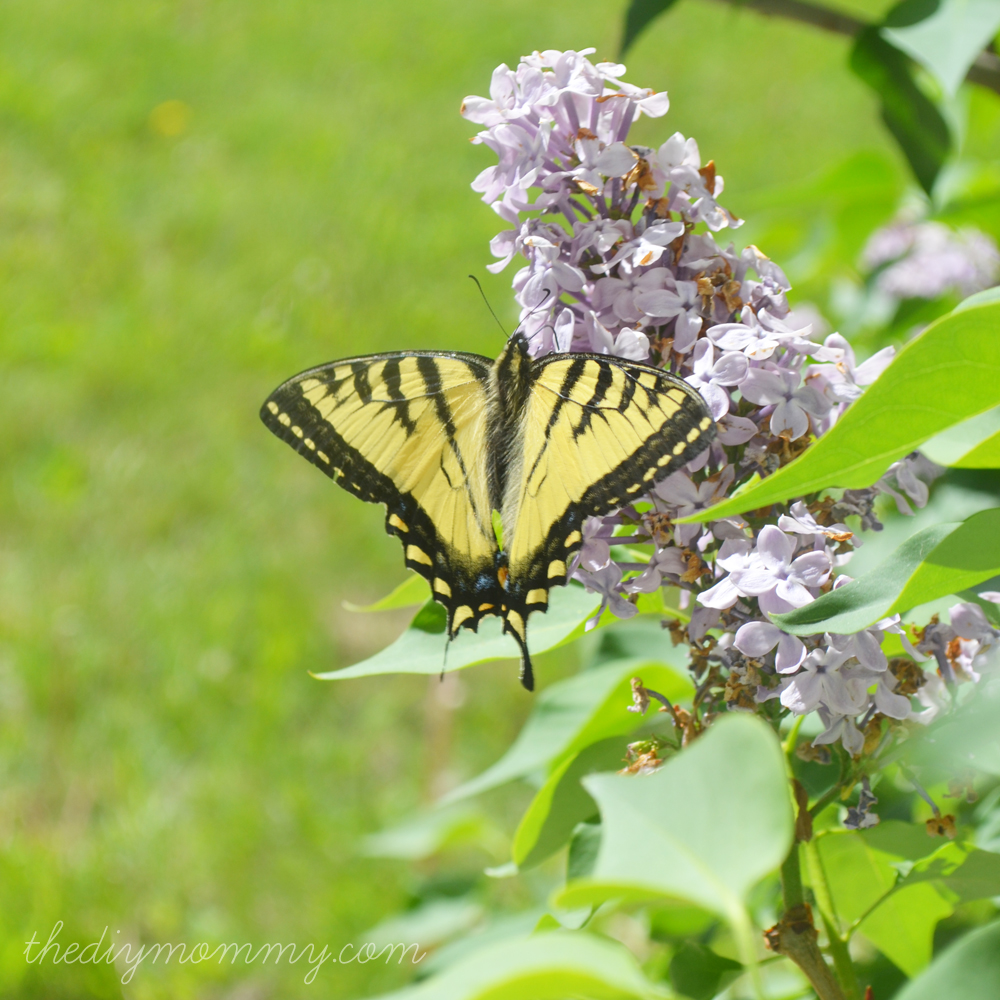 Monarch Butterfly in My Lilacs - The DIY Mommy