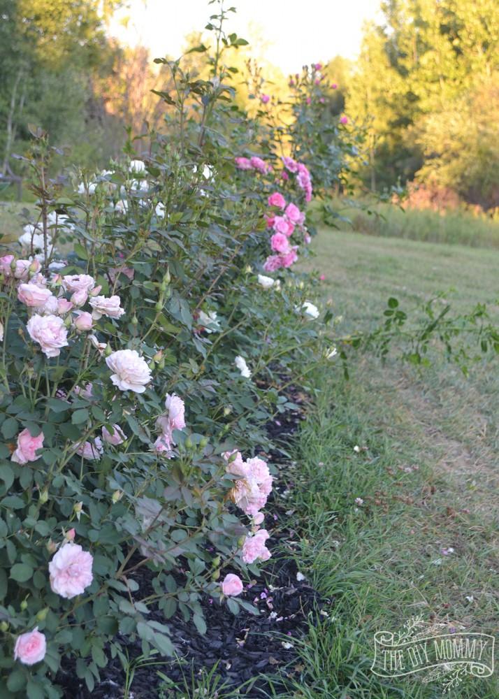 Hardy Rose Garden