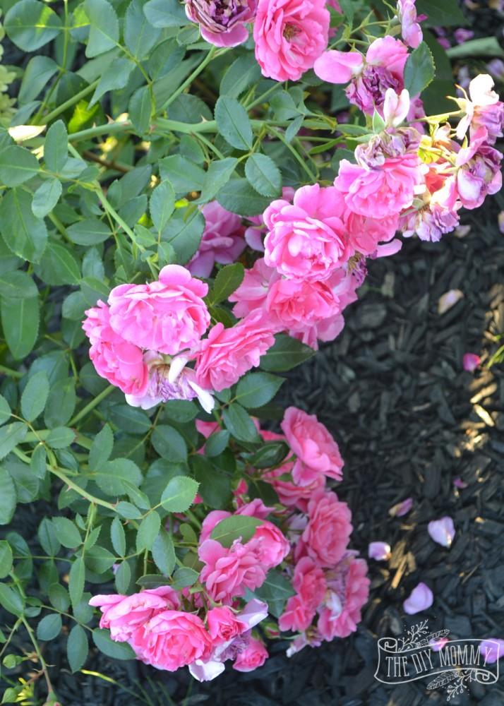 Morden Belle roses