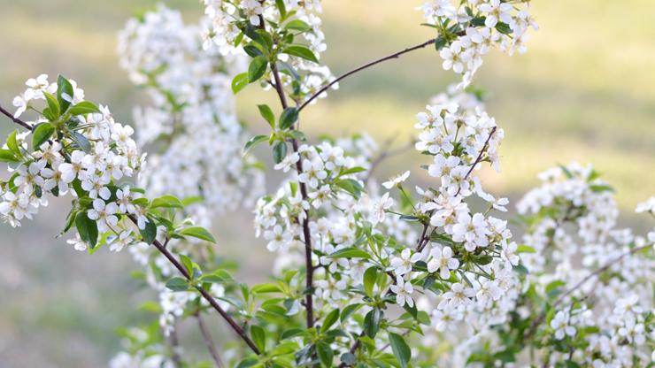 Juliet Cherry tree