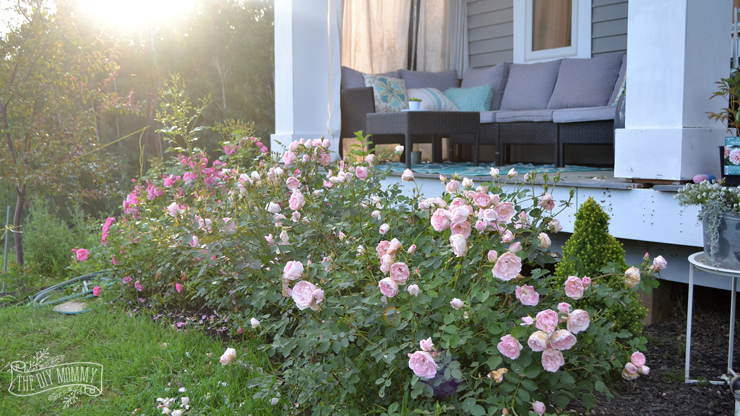 Morden Blush and Morden Belle Roses