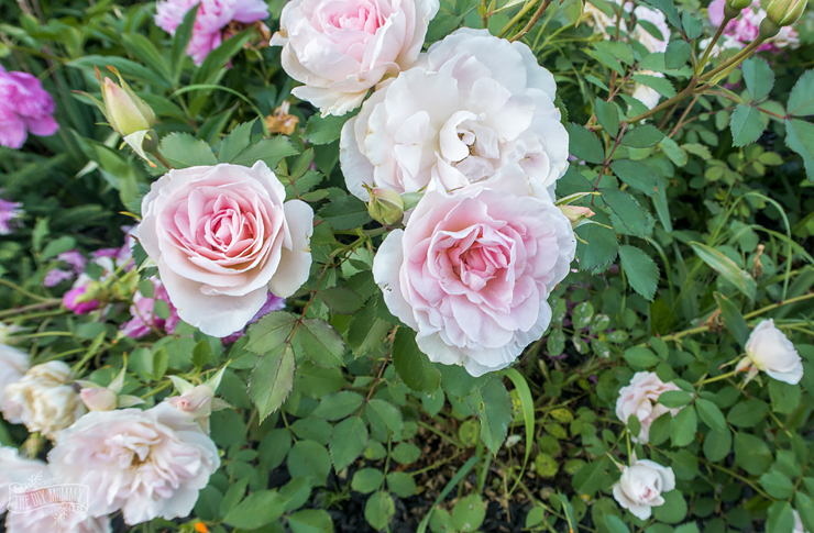 How to Grow Hardy Shrub Roses