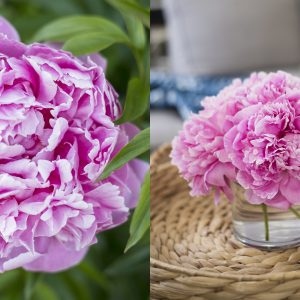 PEONIES 101 | How to get ants off peonies, how to make them bloom later & more!